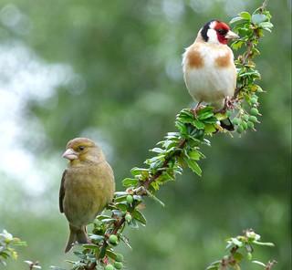 Greenfinch & Goldfinch