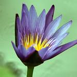 Lotus or Water Lily (Nymphaea Nouchali) - Kanchanaburi, Thailand 2018 thumbnail