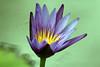 Lotus or Water Lily (Nymphaea Nouchali) - Kanchanaburi, Thailand 2018 (Dis da fi we) Tags: lotus water lily nymphaea nouchali blue yellow green