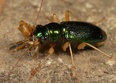 Tiger with prey (cotinis) Tags: insect beetle coleoptera carabidae tetracha tetrachavirginica megacephala megacephalavirginica tigerbeetle virginiametallictigerbeetle northcarolina piedmont canonefs60mmf28macrousm inaturalist