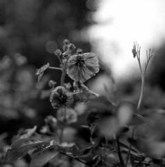 120718003 (salparadise666) Tags: mamiya c330 sekor 80mm fomapan 200160 caffenol cl 30min nils volkmer bw black white monochrome vintage tlr medium format square 6x6 film analogue camera floral home garden closeup