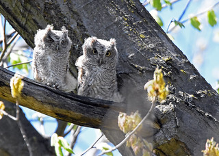Eastern Screech-Owl - Petit-duc maculé - Megascops asio (D72_3709-1PE-20180511)