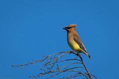 Cedar Waxwing (mathurinmalby) Tags: bird bombycillacedrorum cewa cedarwaxwingbombycillacedrorum nh newhampshire usa