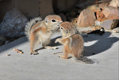 Gimme a Kiss (Monkeystyle3000) Tags: baby antelope ground squirrels desert animals wildlife nevada