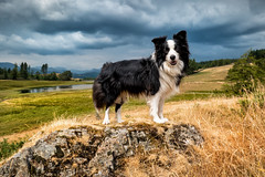 Border Collie in the Lake District (asheers) Tags: horizon clear sky idyllic scenics over land hill nonurban scene dramatic cloud overcast storm border collie outdoors mountain field dog pet cute tarn lake district cumbria wise een beatrix potter