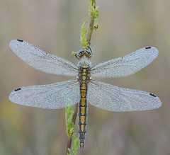 Libellule (guiguid45) Tags: orthetrumcoerulescens orthétrumbleuissant nature sauvage insectes loiret d810 nikon 150mmf28 sigma macro proxi libellules