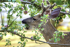 Deer In Apple Tree (LifeLover4) Tags: deer apples tree washington backyard odocoileushemionuscolumbianus blacktailed