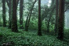 Green (jorgeverdasca) Tags: portugal sintra bosque woodland darkforest forest landscape canonphotography canon5dmk4 5dmk4 mist mistymorning foggyday foggy fog magiclight treescape trees