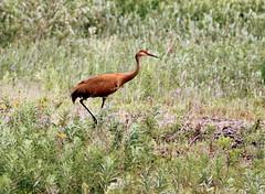 Grue du Canada (Marie-Helene Levesque) Tags: oiseau abitibi valdor eastsullivan east grue grueducanada mariehélène mariehelene