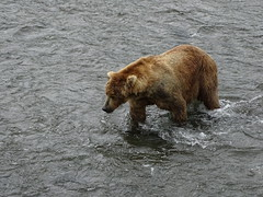 DSC07553 (jrucker94) Tags: alaska katmai katmainationalpark nationalpark bear bears grizzly grizzlybear brooksriver nature outdoors