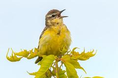 IMG_7790 (serj k.) Tags: yellow wagtail motacilla flava 7d mark ii tamron 150600
