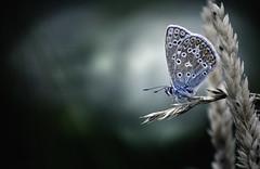 Common blue (GillK2012) Tags: common blue polyommatusicarus butterfly light dark nature