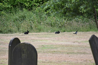 Wild Black Rabbits! Have seen these guys for ages, spotted them today as they were being mobbed by two Magpies.