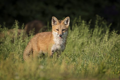Kit (DTT67) Tags: redfox fox redfoxkit kit animal mammal nature wildlife canon 1dxmkii 500mmii 14xtciii maryland