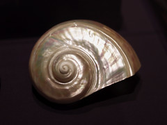 Green turban snail, polished (greyloch) Tags: smithsonian museum naturalhistory shell nacre opalescent 2018 canonrebelt6s niksoftware objectsofwonder greenturbansnail