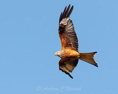 Red Kite Soaring web version (AndyNewark) Tags: kite redkite raptor birdofprey