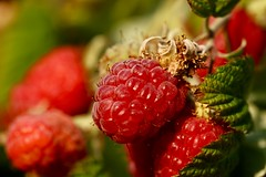 Refreshments (AngharadW) Tags: angharadw seeds red green bokeh dof macro macromonday refreshments raspberries raspberry