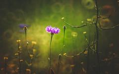 Wildflower (Dhina A) Tags: sony a7rii ilce7rm2 a7r2 a7r minolta rf rokkorx 250mm f56 mirror reflex minolta250mmf56 md prime rokkor bokeh wildflower