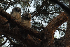 Long-eared Owl (Asio otus)  3 Juveniles  03-07-2018 (Brian Carruthers-Dublin-Eire) Tags: asio otus asiootus longeared owl chick juvenile longearedowl strigiformes strigidae hibou moyenduc waldohreule búho chico gufo comune ransuil ceann cait hiboumoyenduc búhochico gufocomune ceanncait bird of prey birdwatchfb birdwatchireland birdwatch nocturnal nocturnalhunter animalia animal aves avian nature wildlife outdoor phoenix park phoenixpark dublin ireland eíre tree wood pines pinetree pinewood woodland