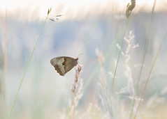 a pretty place to roost (Emma Varley) Tags: butterfly meadowbrown brown roosting grass stalk stem seeds evening aftersunset bluehour southdownsnationalpark westsussex