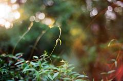 (katez0r) Tags: film ektar100 nikonf100 plants lensflare 35mm
