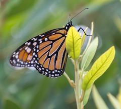 Monarch July 2018 NBG (Puddin Tain) Tags: monarch butterfly butterflygarden norfolkbotanicalgarden norfolkvirginia danausplexippus