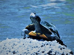 Turtle at the River (Anton Shomali - Thank you for over 1 million views) Tags: nature kankakeeriver wilmington kankakee river turtle illinois sun water summer hot