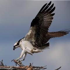 The Provider  :) (Paridae) Tags: osprey ospreyinflight ospreylanding ospreywithfish ospreynest pandionhaliaetus fishingbirds thingswithwings afewofmyfavouritethings canoneos1dx canon500mm maleosprey