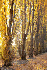 The Golden Poplars || MEADOW FLAT || NSW (rhyspope) Tags: australia aussie nsw new south wales central talelands bluemountains tree poplar autumn fall yellow leaves morning sunstar sun golden rhys pope rhyspope canon 5d mkii lithgow bathurst
