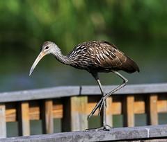 07-14-18-0027171 (Lake Worth) Tags: animal animals bird birds birdwatcher everglades southflorida feathers florida nature outdoor outdoors waterbirds wetlands wildlife wings