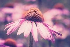 * (michel1276) Tags: makro macro blume flower olympus zuikomacro9020 manual manualfocus vintagelens bokeh