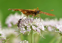 Little World (inge_rd) Tags: ant ameise butterlfy schmetterling natur sommer insectmacro macro nikkor10528