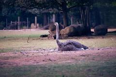 Fotowalk 2018 (Kanazuchi) Tags: fotowalk zoo krefeld zookrefeld nikon d750 straus struthiocamelus