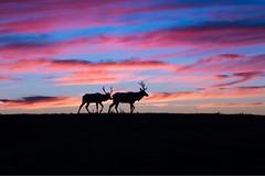 Dawn to Dusk (p23pathak) Tags: pointreyes blacktaileddeer california sunset nature clouds sunsetcolors nikond810 ngc