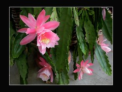 Cactus flowers (clyde_95482) Tags: cacti flowers cactucs