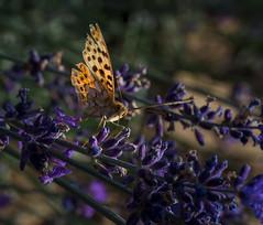 color over color 2 (nickneykov) Tags: nikon d750 nikond750 tamron 90mm tamron90mmvcmacro butterfly bulgaria colorfull chirpan macro lavender