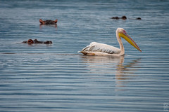 observed (peter birgel) Tags: tansania ngorongoro africa lake pelican hipppo travel travelphotography observed nikon d500