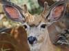 Mule Deer (Circled Thrice) Tags: rma rockymountainarsenal nationalwildliferefuge wildliferefuge refuge deer muledeer mammal animal wild wildlife natural nature prairie commercecity aurora denver colorado co canon eos t5i 300mm