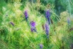 3D Nature (Tanja-Milfoil) Tags: lila flowers heublume wildblumen wildeblume violett grün field weide garden garten gras 3dart kunst unscharf feld pflanze blume art 3d hologramm wackelbild green nature natur picture milfoil tanja 5300 nikon