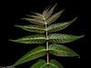 Line Symmetry (J.Weyerhäuser) Tags: macromonday hmm blatt leafs linesymmetry