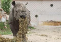 Enjoying his meal (mennomenno.) Tags: zoo blijdorp dierentuin neushoorn eten meal