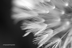 Its All About the Detail (Snowy5) Tags: shropshire nature dandelion flower features clovk clock macro blackwhite bw canon 7d ii snowy5