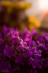 Like a morning (AnzhN) Tags: flowers flora canon sunray nature