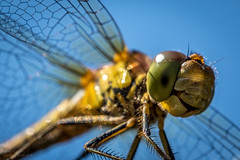 common darter (rich lewis) Tags: sympetrumstriolatum commondarter macro macrophotography nature dragonfly richlewis