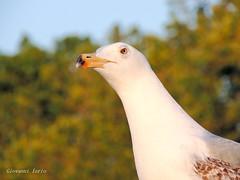 Cosa guardi (ioriogiovanni10) Tags: amico seguimi coolpix nikon animali sguardo occhi gabbiano eyes animal rome