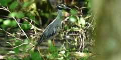 Yellow Crowned Night Heron_1048 (Porch Dog) Tags: 2018 garywhittington nikond750 nikkor200500mm nature outdoors wildlife kentucky