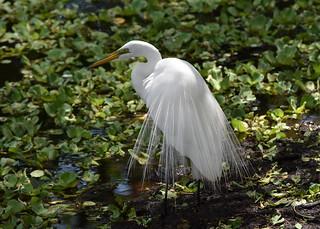 Great Egret1 4-10-18
