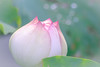 Utopia (Jimweaver) Tags: white lotus lily flower bloom pond taiwan lake 池 荷花 蓮 water 湖 park 公園 asia 亞洲 花 微距 植物 neihu 白石湖 內湖 碧山巖 bisanyen pink