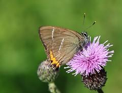 Butterfly (Hugo von Schreck) Tags: hugovonschreck butterfly schmetterling falter insect insekt macro makro ulmenzipfelfalter satyriumwalbum bläuling canoneos5dsr tamron28300mmf3563divcpzda010 fantasticnature
