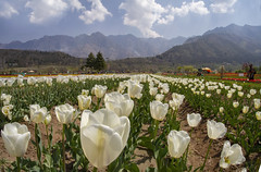 Tulip Garden Srinagar,India. (Rambonp:loves all creatures of this universe.) Tags: tulipgardensrinagar srinagar jk kashmir tulips flowers yellow wallpaper red white trees green nature park day india beauty paradise blue canon landscape sky clouds mountains hills hillstation touristplace tourism dallake water ripples boats abandoned